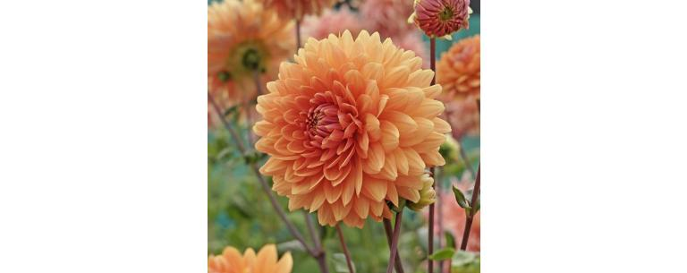 The ideal time to plant Dahlia's