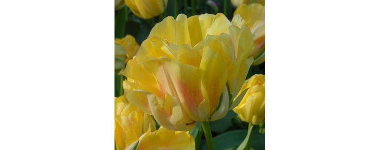 Flower Bulbs with Special Names