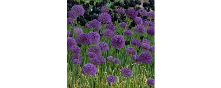 The allium, a peerless flower bulb!