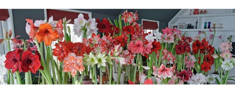 The Amaryllis: Now Available!