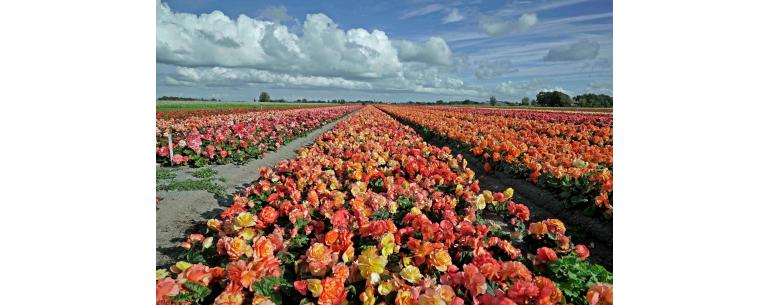 The American Begonia (also known as the Ameri-hybrids)