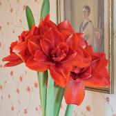 Amaryllis, the Queen of the Winter in our assortment of flower bulbs
