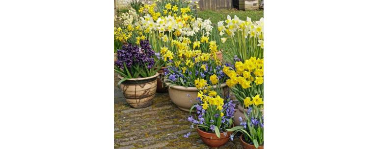 Rock garden Daffodils, beautiful miniature daffodils