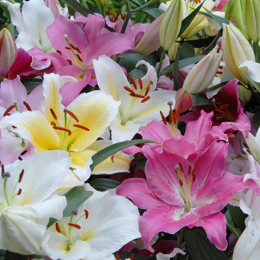 Blog Best Time To Plant Lilies