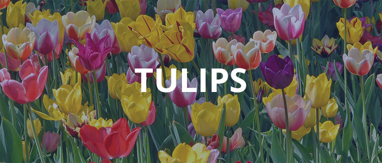 Tulips assortment