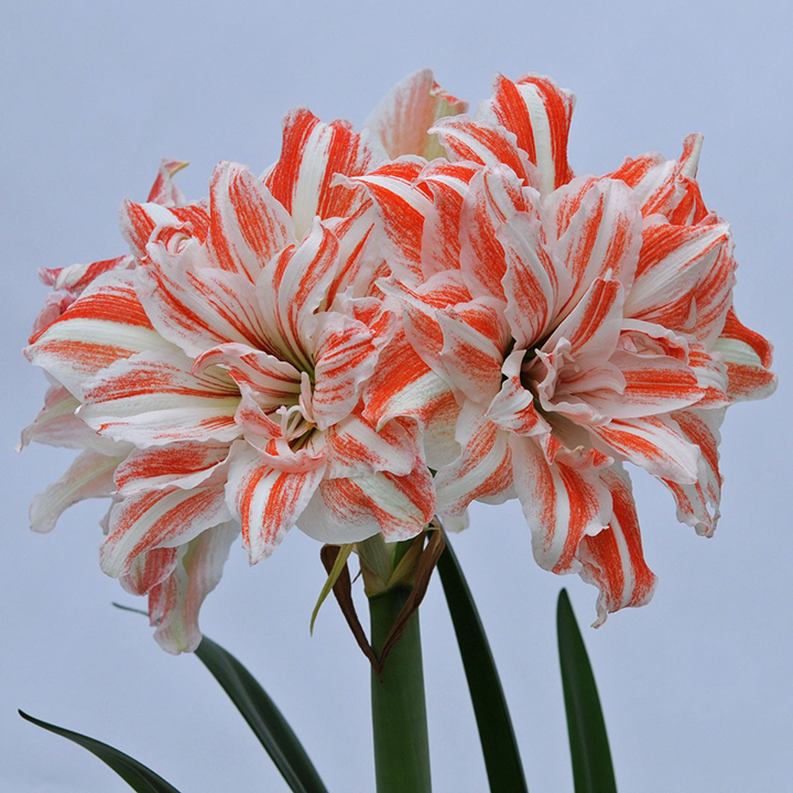 Amaryllis do not need too much sunlight