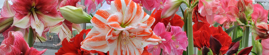Amaryllis plant instruction