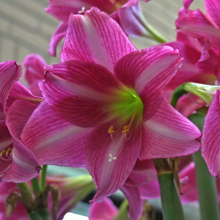 Amaryllis temperature