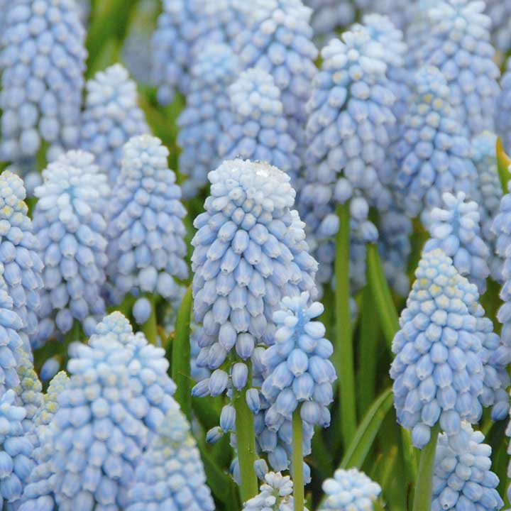 Buying Muscari Bulbs Online