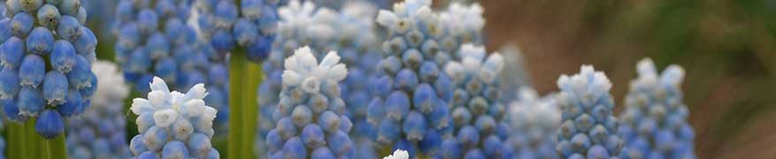 Buying Muscari Bulbs