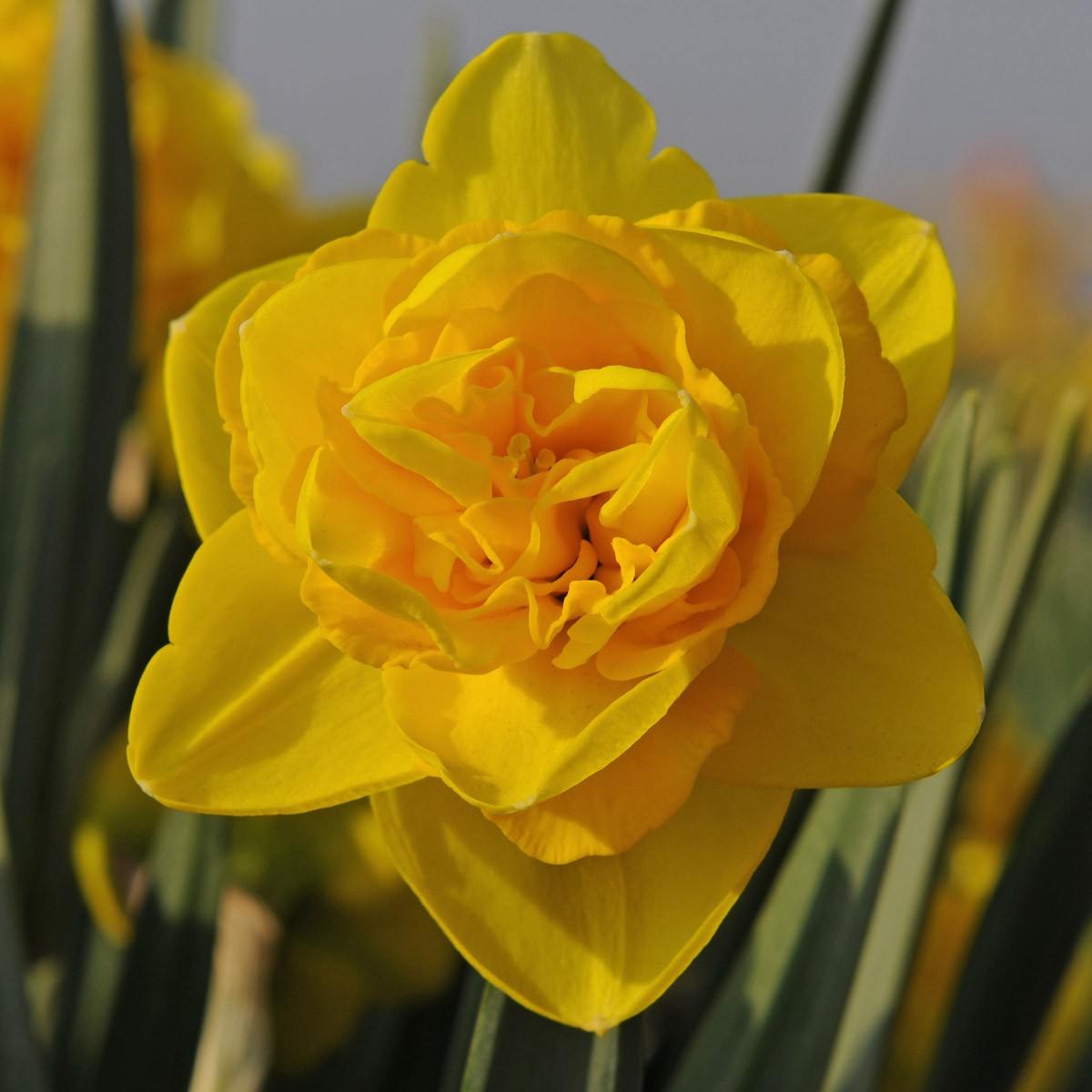 Daffodils Bulbs for Your Garden