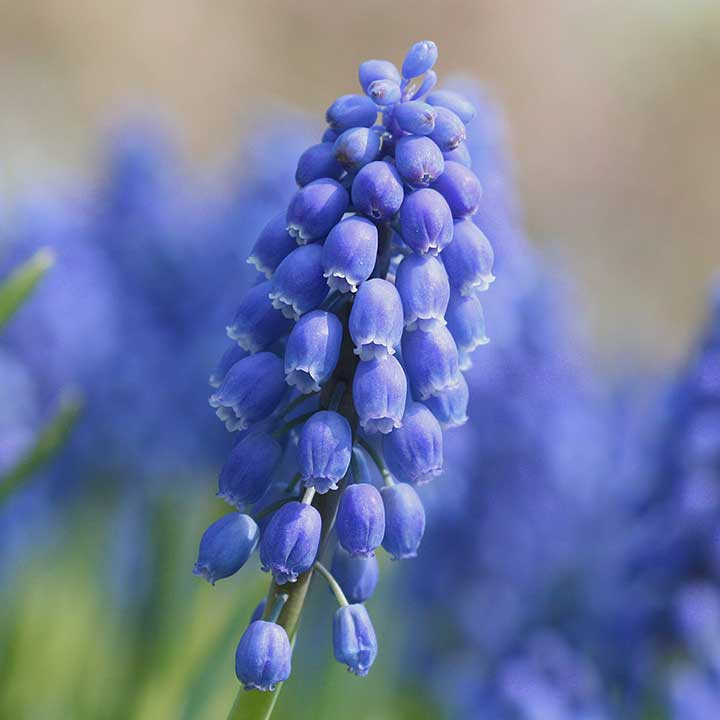 How to Plant Muscari Bulbs