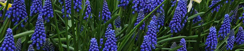 Planting Muscari Bulbs