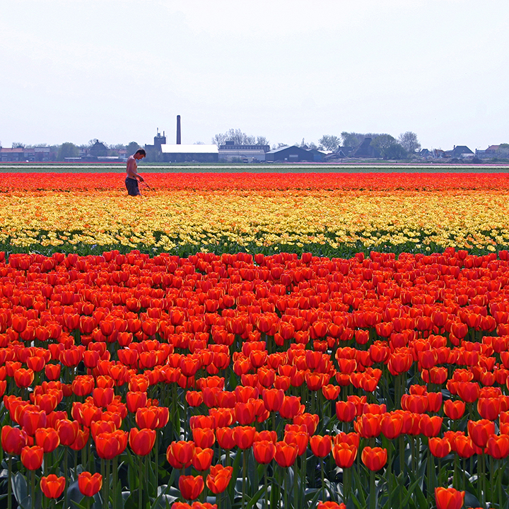 Tulip fields Zijpe
