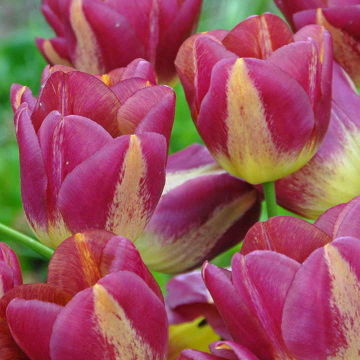 Tulips are magical flowers that fascinate many people
