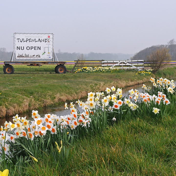 Tulpenland - all about tulips